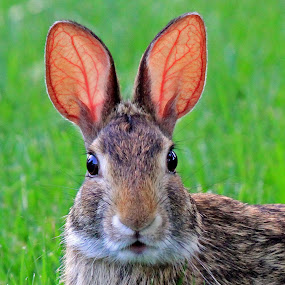 All Ears by Steve Shelasky - Animals Other ( all ears, http://shelshots.imagekind.com/, rabbits, rabit ears, animal )