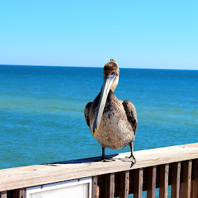 Pelican  by Christie Henderson - Novices Only Wildlife (  )