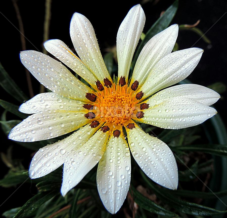 Asymmetrical white gerbera by Biljana Nikolic - Flowers Flower Gardens (  )