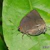 Lycaenid butterfly