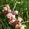 Common Toothwort