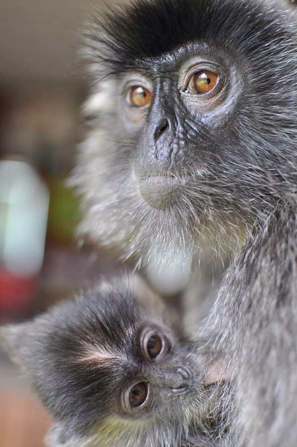Silver-leaf Langur by Terence Keong - Animals Other Mammals