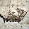 Sea Lavender / Rešetkasta mrižica