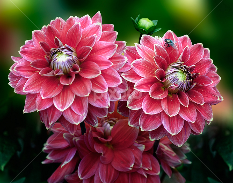 Dahlia by Carl Sieswono Purwanto - Flowers Flower Gardens ( flower, bouquet, Flowers, Flower Arrangements )