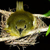 White-collared Manakin (female) chick and male )