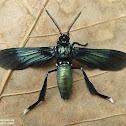 Chrysitis Wasp Moth