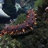 Giant California sea cucumber