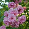 Fairy Climbing Rosa