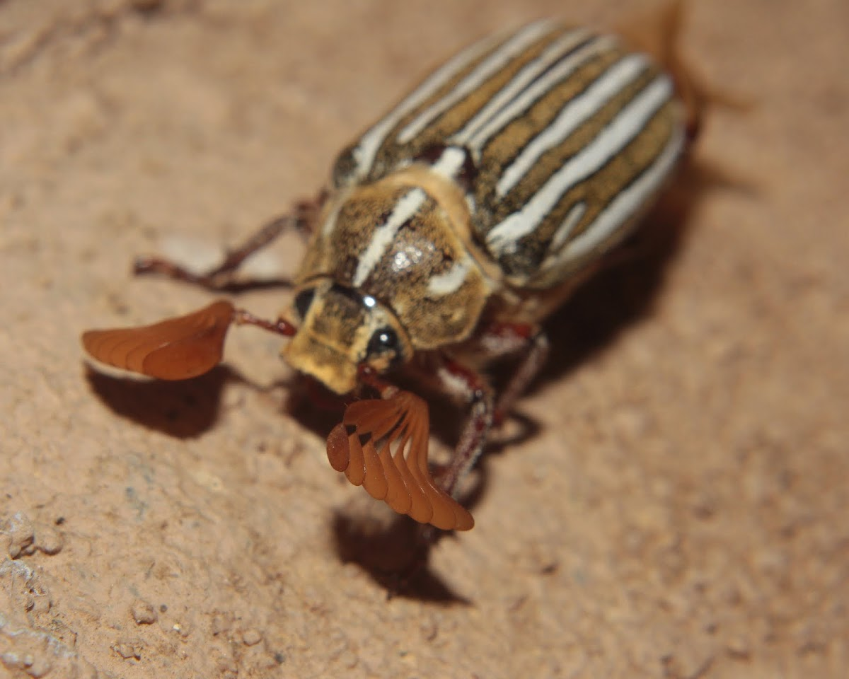 10 lined Giant Chafer