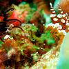 Sexy Shrimp/Squat Anemone Shrimp