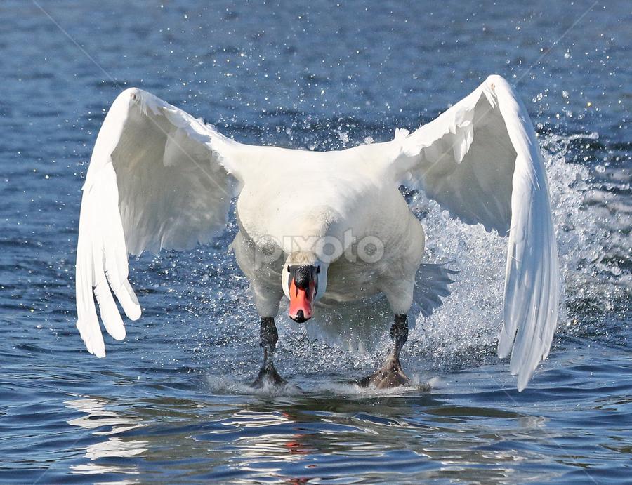 Here we go again! by Mia Ikonen - Animals Birds ( mia ikonen, attack, mute swan, aggressive, male, wildlife, finland )