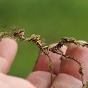Moss mimic stick insect