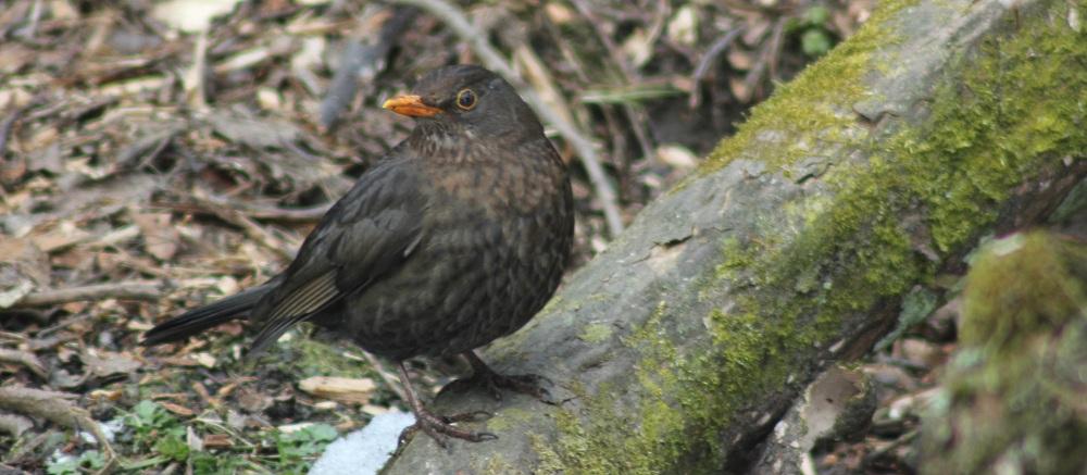 Eurasian Blackbird