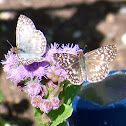 Common NameWhite Checkered-Skipper