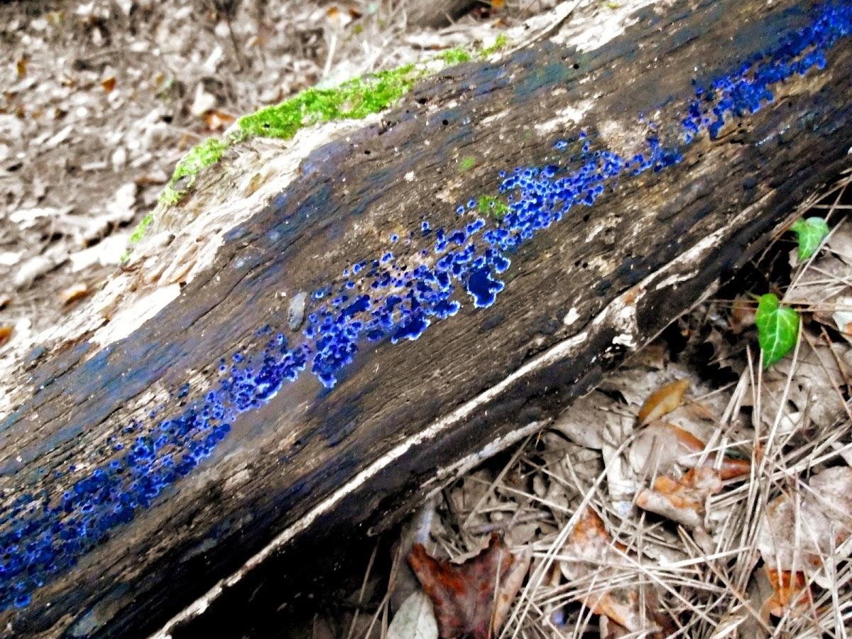 Bolet de soca blau
