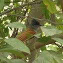 स्वर्गीय नर्तक Asian Paradise Flycatcher