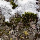 Puckered Tuft Moss