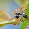 weaver ant fighting with black ant