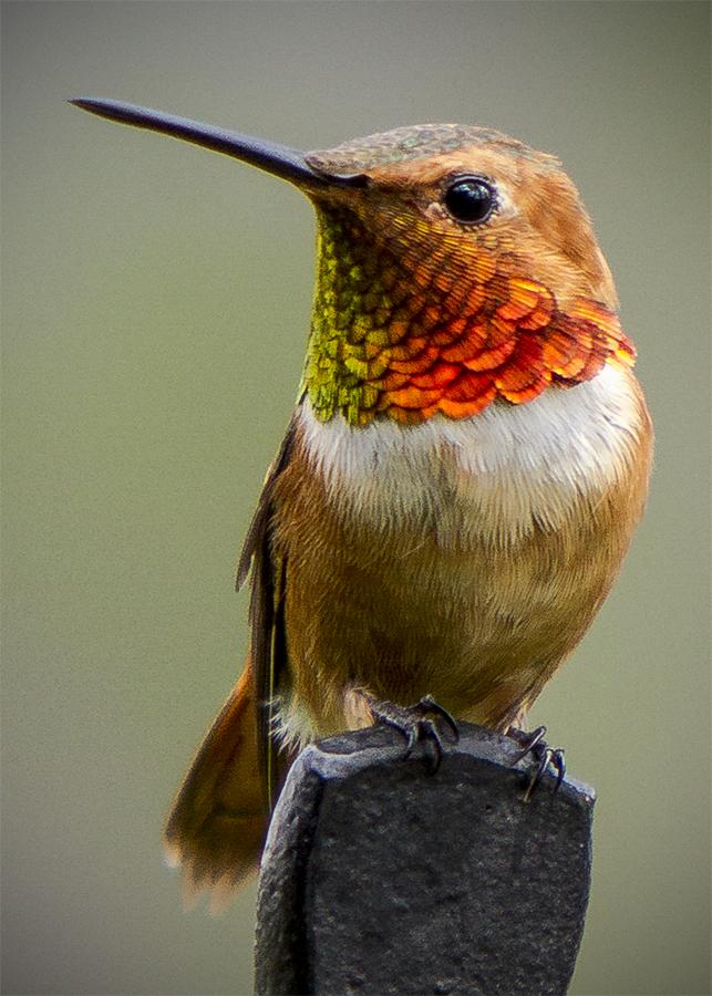 Rufus Humming bird by Paula Cravens - Animals Birds ( bird, rufus humming bird, humming bird )
