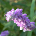 Salvia Morada
