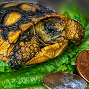 Baby Florida Gopher Tortoise by Joe Saladino - Animals Reptiles ( tortoise, reptile.,  )