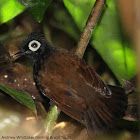 Bare-eyed Antbird