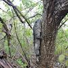 Utila spiny-tailed iguana / swamper