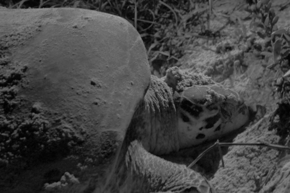 Tortuga de Carey, Hawksbill sea turtle