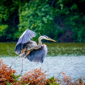 BLUE HERON by Udo Weber - Animals Birds ( flight, waterscape, blue heron, wings, heron )