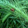 7 Spotted Ladybug