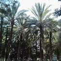Palmera datilera (Date palm)