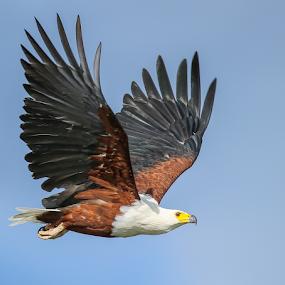 African Fish Eagle by Rian Van Schalkwyk - Animals Birds ( okavango river, wings, african fish eagle, raptor, in flight,  )