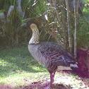 Nēnē or Hawaiian goose