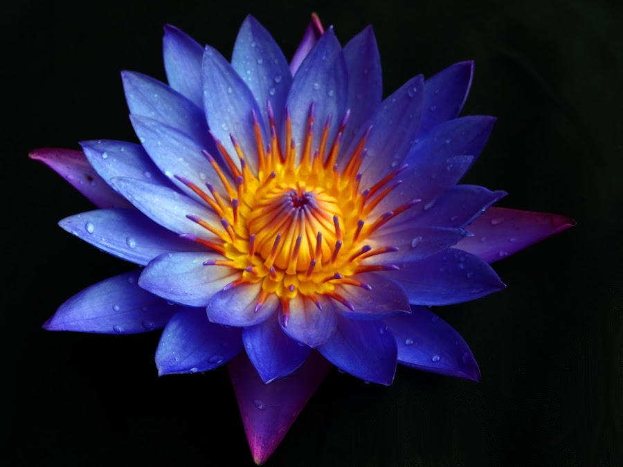 lovely waterlily by Asif Bora - Flowers Flowers in the Wild (  )