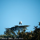 Whoite Stork; Cigüeña Blanca