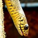 Rat snake (Dhaman)