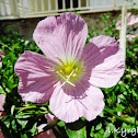 Pinkladies, pink evening primrose, amapola