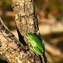 Mediterranean tree frog, Rela-comum