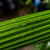 Green Stick-Insect
