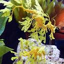 Glauert's Seadragon or Leafy Seadragon
