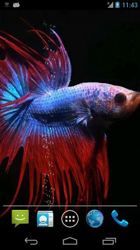Betta Fish Live Wallpaper ★