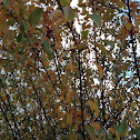 European Crabapple Tree