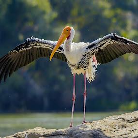Show time by Vijayanand Kandasamy - Animals Birds ( bird, painted, painted stork bird, birds, painted stork,  )