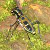 Blue-spotted or Golden-spotted tiger beetle,