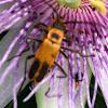 Pennsylvania Leatherwing - Goldenrod Soldier Beetle