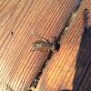 Dragonfly Larvae