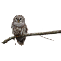 Owl on Branch Sticker icon