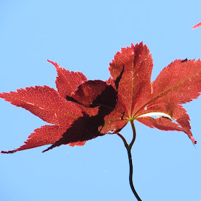 Red Leaf In The Blue Sky by Anne Santostefano - Nature Up Close Leaves & Grasses ( red, blue sky, sky, nature, trees, nature close up, landscapes, leaves, , blue, orange. color, fall, color, colorful )