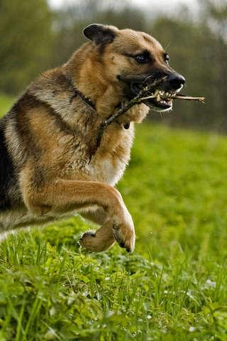德國牧羊犬拼圖