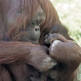 Intimate moment by Cheryl Nestico - Animals Other Mammals ( love, phoenix zoo, orangutan, baby, nursing, breastfeeding, baby orangutan, bess,  )